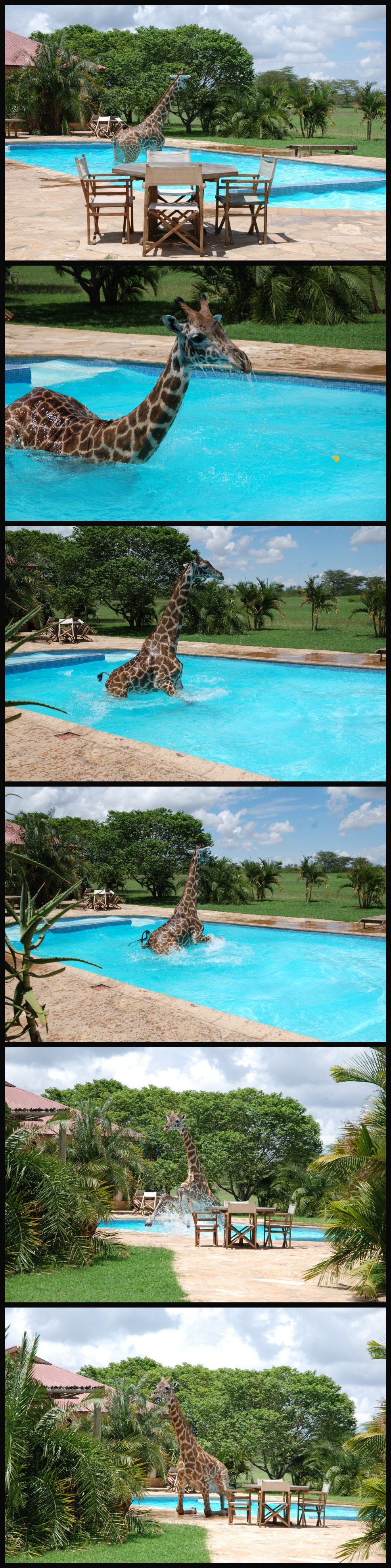 6 pictures of a Giraffe having a blast in a swimming pool
