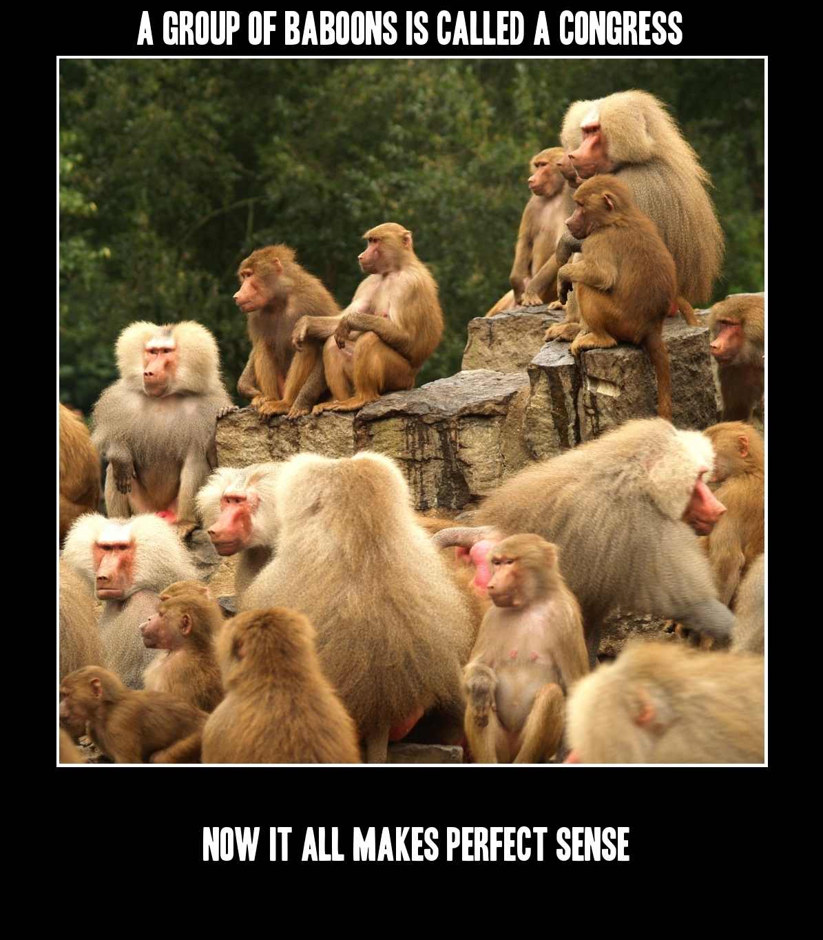 A group of baboons is called a congress.
