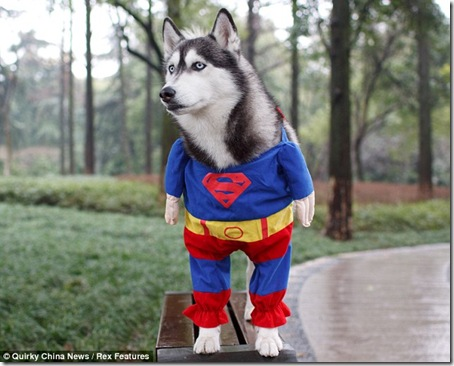Another Great Dog Costume. This Time It's Superman!