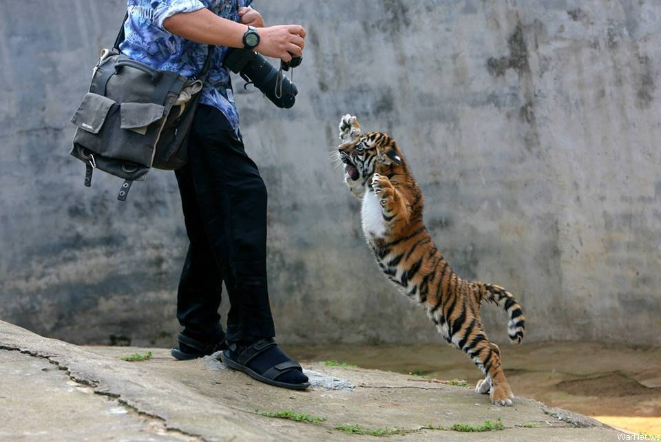 Baby tiger goes all ninja on photographer.