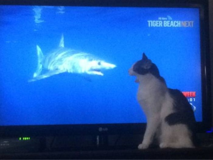 Cat loves shark week.