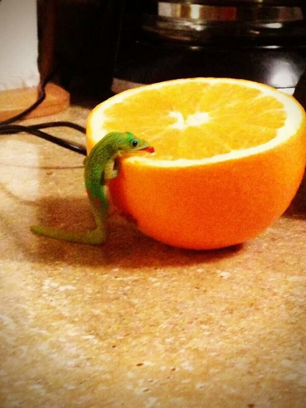 Cute little lizard just loves to drink fresh orange juice in the morning.