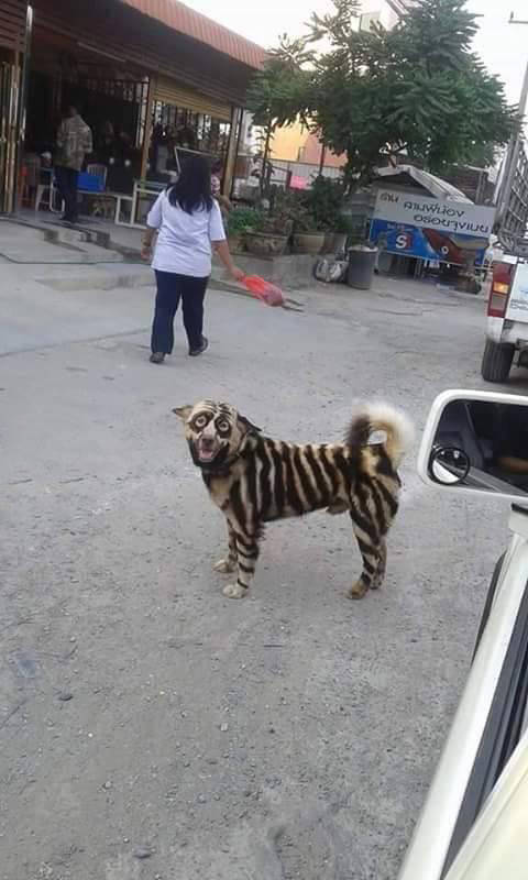 Cool looking dog seems to be part tiger, part raccoon, and part who knows what.