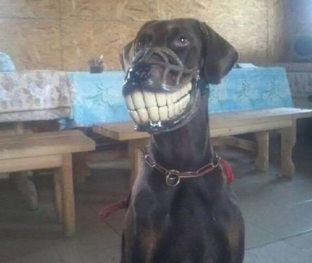 Dog seems happy about wearing a muzzle.