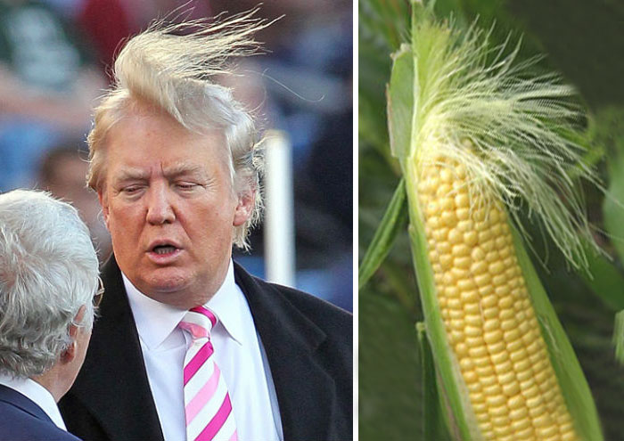 Donald Trump vs Corn on the cob. Which one has better hair?