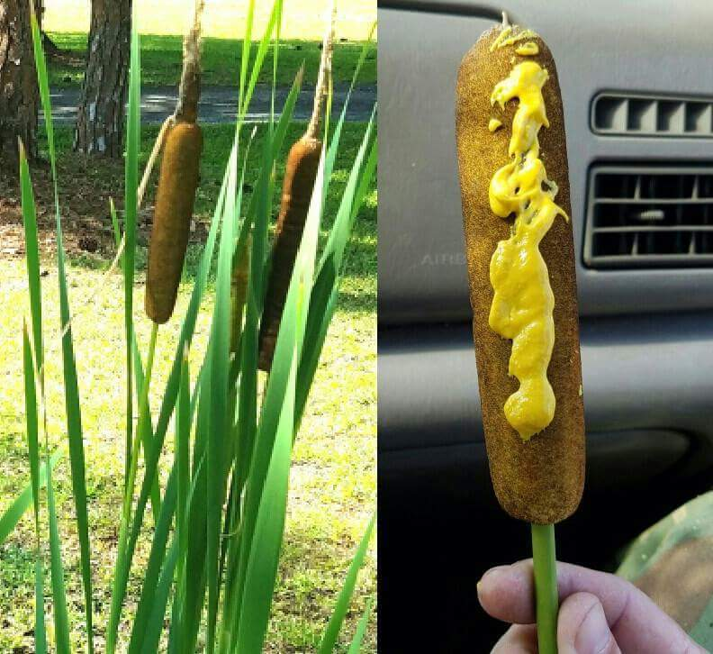 Found some corn dogs growing wild.