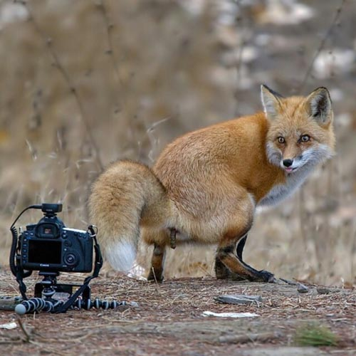 Fox shows how much it dislikes cameras by taking a poop right in front of it.