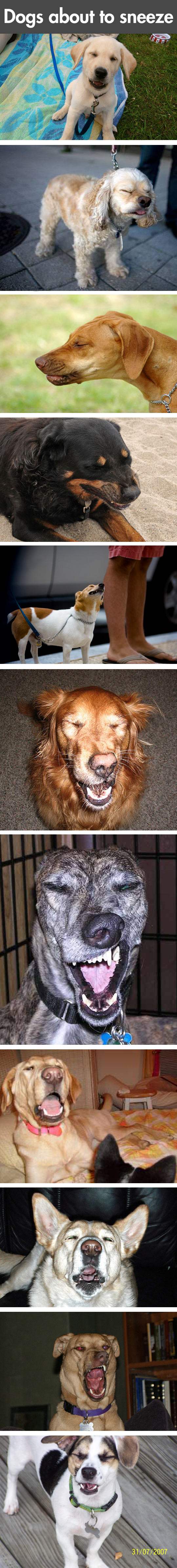 Funny Pictures Of Dogs Taken Right Before They Sneeze.