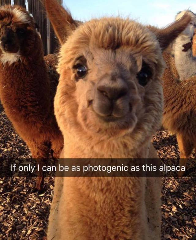 If only I can be as photogenic as this alpaca.