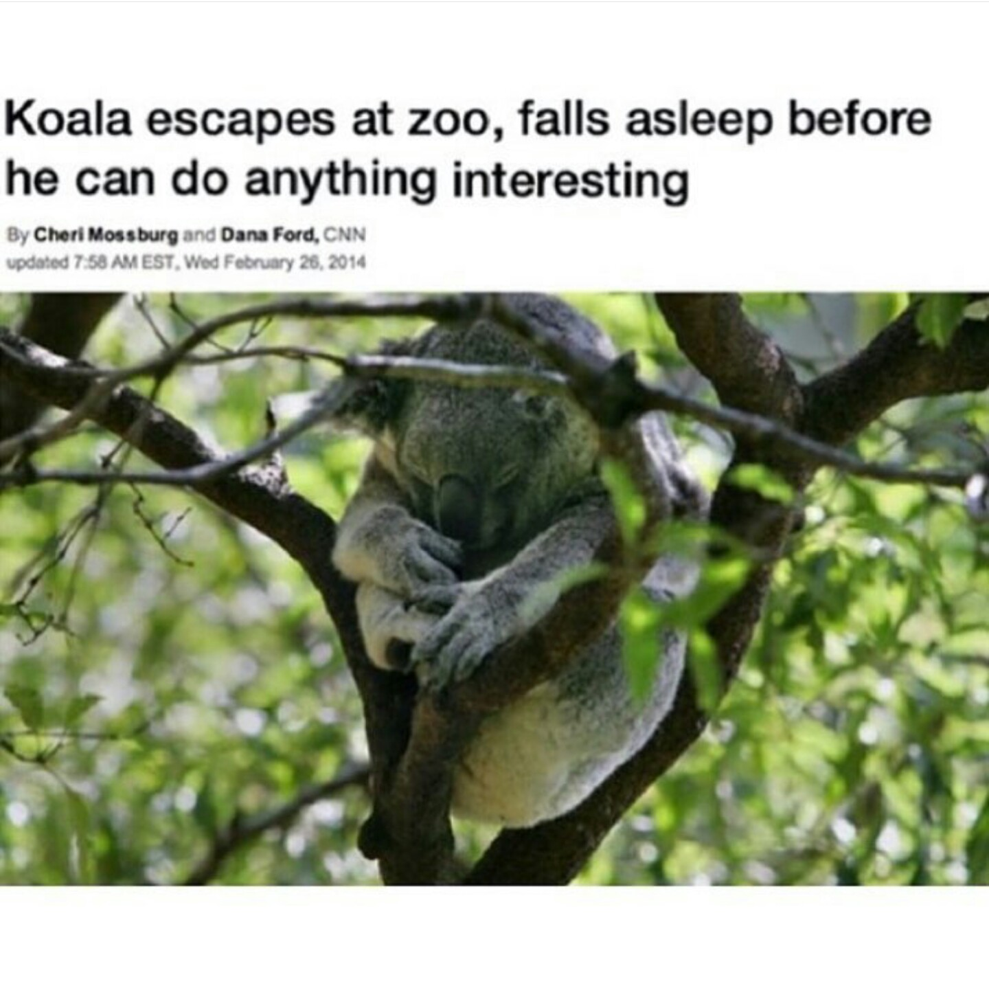 Koala escapes from the zoo.