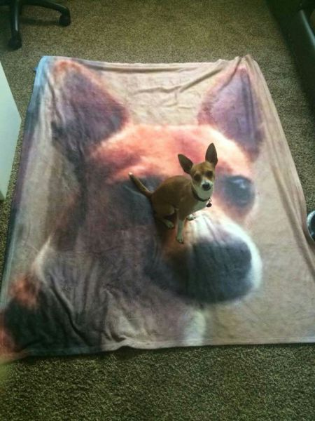 Little dog just loves his custom made blanket.