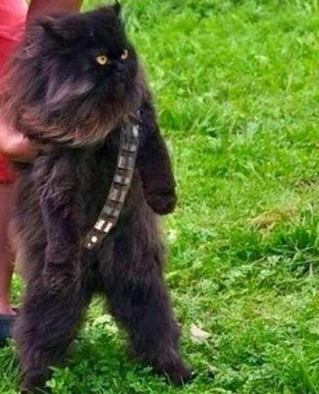 Mewbacca the wookie cat.
