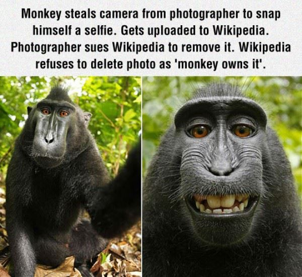 Monkey Steals Photographers Camera To Take a Selfie And Owns The Rights To The Picture According To Wikipedia.