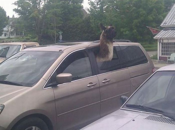 Never leave your alpaca in a hot car.