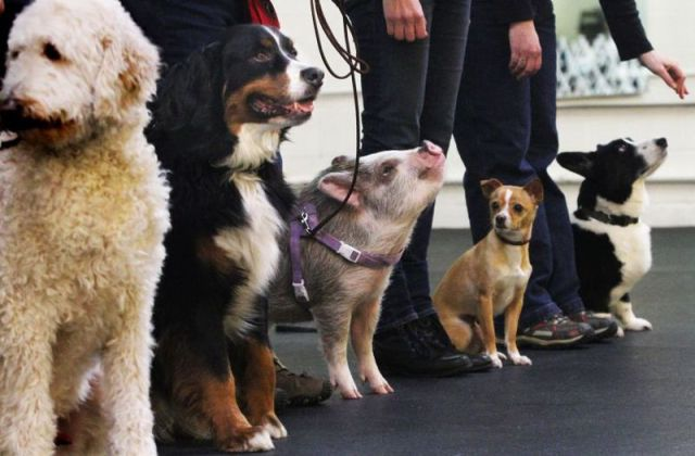 Nobody notices the pig amongst the dogs except the little one.