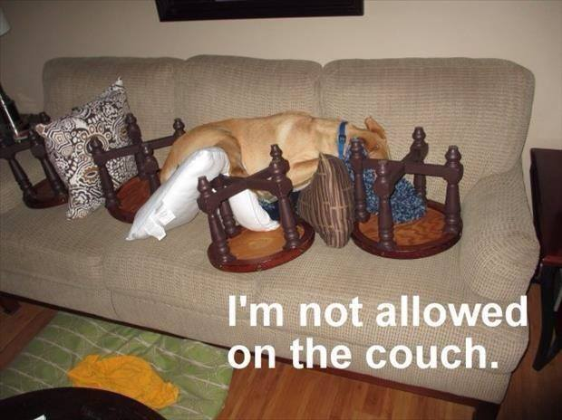 Not even obstacles can stop this dog from sleeping on the couch.