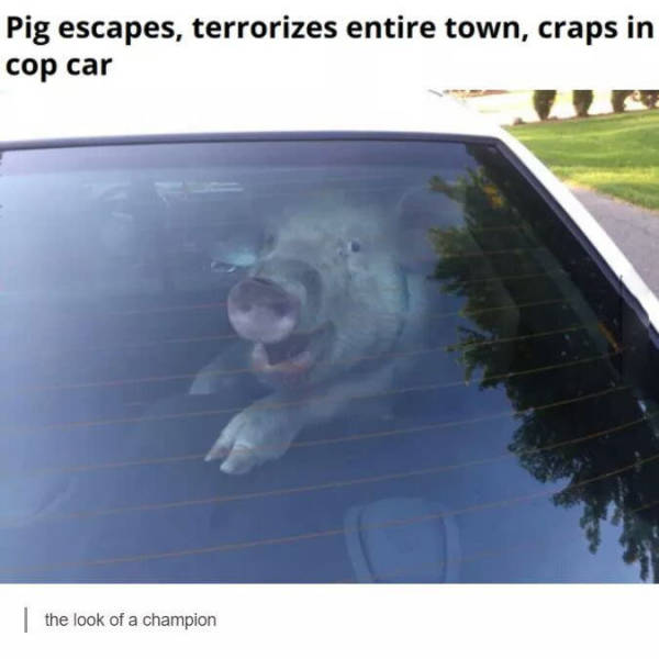 Pig escapes, terrorizes town and craps in a cop car before becoming bacon.