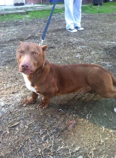 Pit Bull and a Dachshund were crossbred and this is the result.