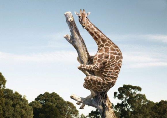 Poor giraffe must have seen a mouse since it is hiding up in a tree.