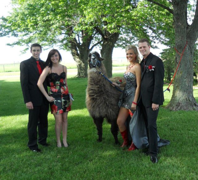 Posing with a Llama before prom is always a good idea