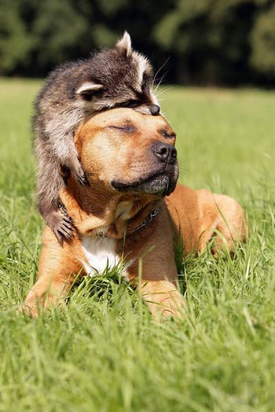 Raccoon and dog show what true love looks like.