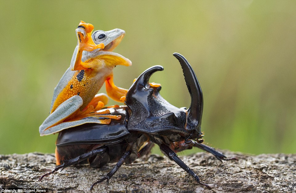 Frog riding beetle rodeo style.