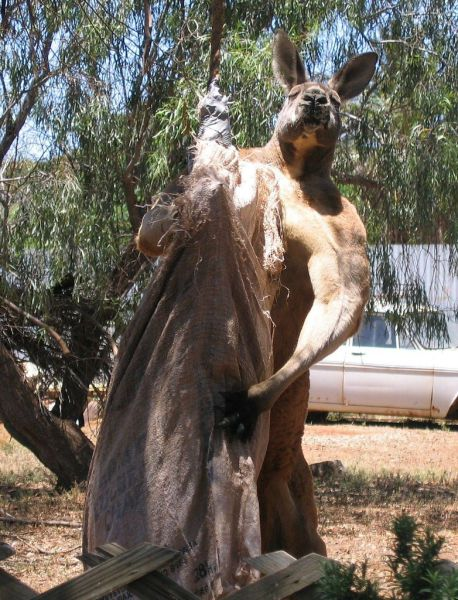This Kangaroo is either on the juice or just has very good genes.