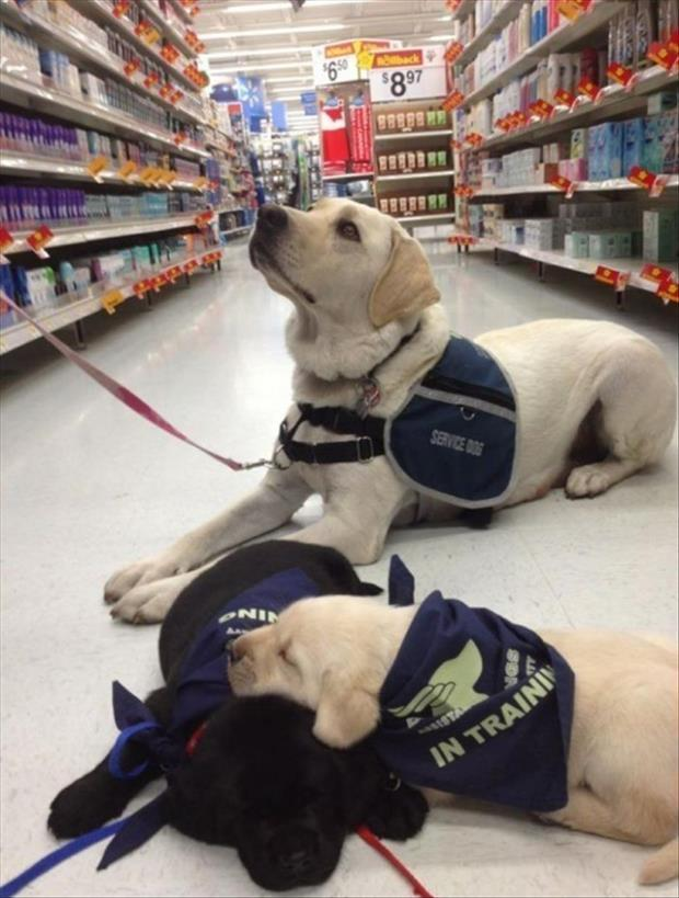 These Service Dogs In Training Still Require a Lot Of Work.