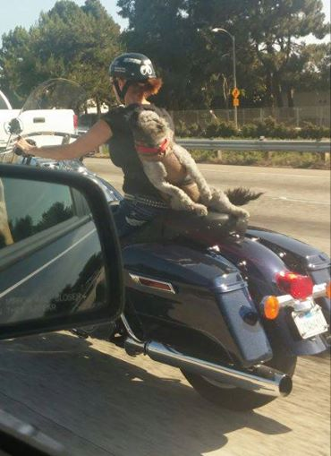 This Dog Is Loving His Ride On The Back Of A Motorcycle.
