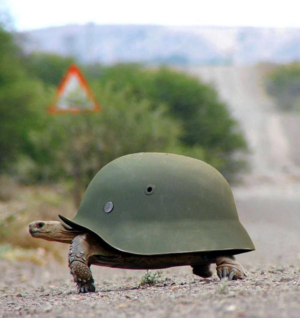 This turtle wearing a helmet is fully prepared for battle.