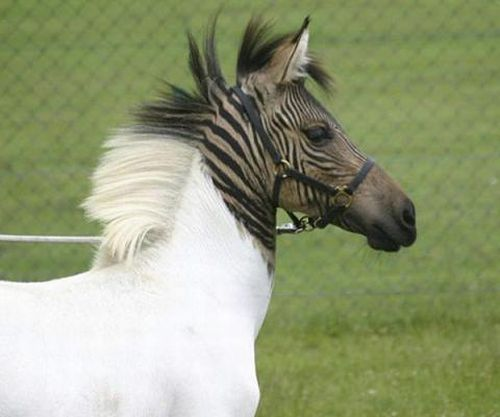 This is what happens when a horse and a zebra mate. You get a Zorse.